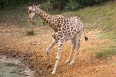 Giraffe at Waterhole Stock Photos