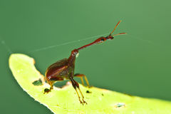 Giraffe Weevil Royalty Free Stock Photography