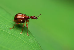 Giraffe weevil Royalty Free Stock Images