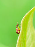 Giraffe Weevil Stock Photography