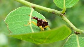 Giraffe Weevil on leaves in tropical rain forest. Giraffe Weevil Apoderus notatus is insect pest on leaves in tropical rain forest stock video footage
