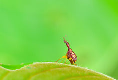 Giraffe Weevil on leaf. With very clean background stock image