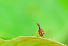 Giraffe Weevil  on leaf Stock Image