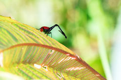 Giraffe Weevil Stock Images
