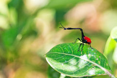 The giraffe weevil Stock Images