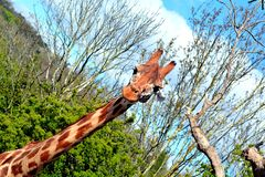 Giraffe, welche die Kamera betrachtet lizenzfreies stockfoto