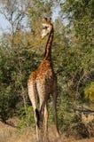 Giraffe, welche die Landschaft für nähernde Touristen überblickt Stockbild