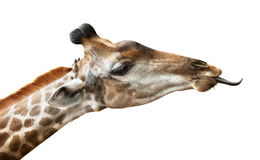 Giraffe on white. Giraffe put out tongue, is isolated on a white background Royalty Free Stock Photos