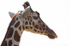 Giraffe on white background. Portrait of giraffe on white background Stock Photos