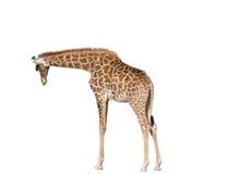 Giraffe on white background. Big beautiful Giraffe isolated on white background Stock Image