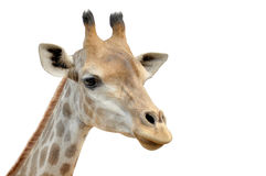 Giraffe on a white background. Close up on the face of a giraffe Royalty Free Stock Photo