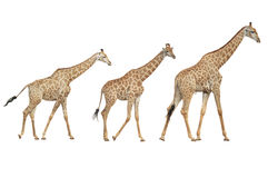 Giraffe on a white background. The giraffe family is walking in the trunk Royalty Free Stock Images