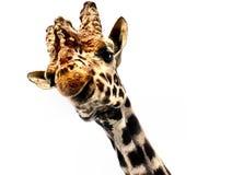 Giraffe on white background. Giraffe head semi isolated on white background Stock Photos