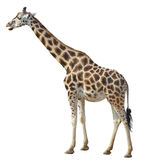 Giraffe on white background. Giraffe (lat. Giraffa camelopardalis) is a mammal of the series artiodactyls Stock Photo