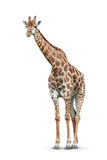 Giraffe on white background. One giraffe is isolated on white background Royalty Free Stock Images
