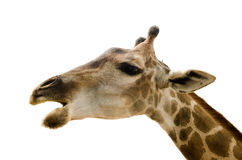 Giraffe  on white background. Stock Photo
