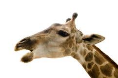 Giraffe  on white background. Young female giraffe  over white background Stock Photo