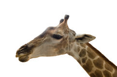 Giraffe  on white background. Young female giraffe  over white background Royalty Free Stock Photography