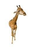 Giraffe  on white background. Young female giraffe  over white background Stock Image