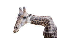 Giraffe on white background. In the zoo Stock Image