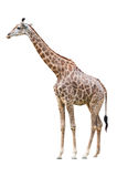 Giraffe on white with clipping path Royalty Free Stock Photos