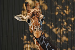 Giraffe wiggling his ears Royalty Free Stock Photography