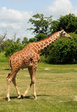 Giraffe in the wild Stock Photo