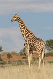 Giraffe in the wild Royalty Free Stock Photos