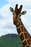 Giraffe in the wild. Kenya. Samburu national park stock image