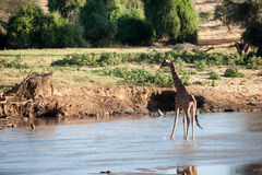 Giraffe. In the wild of africa Royalty Free Stock Photos