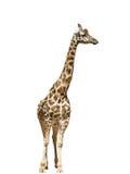 Giraffe wild animal Stock Photos