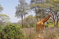 Giraffe. Wild animal giraffe in Africa Stock Photo