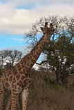 Giraffe in Wild Landscape. Wild giraffe in a Savannah in South Africa, Africa Royalty Free Stock Photography