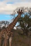 Giraffe in Wild Landscape Royalty Free Stock Photography