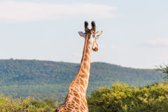 Giraffe in the wild Royalty Free Stock Photography