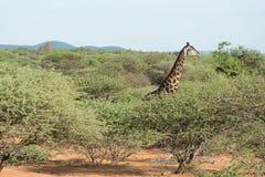 Giraffe in the wild Stock Photography