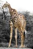 Giraffe in the Wild Royalty Free Stock Photo