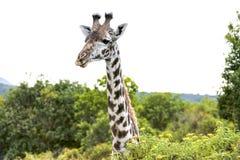 Giraffe in the wild of Tanzania Stock Images