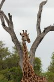 Giraffe in wildem lizenzfreies stockfoto