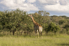 Giraffe in the wilderness in Africa Stock Photos