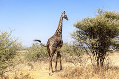 Giraffe In The Wilderness Royalty Free Stock Images