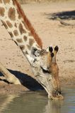 Giraffe - Wildlife from Africa - Portrait of Adaptation, Flexibility, Color and Ingenuity 2 Royalty Free Stock Photography