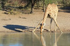 Giraffe - Wildlife from Africa - Water and its shadow Stock Images