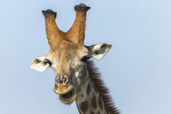 Giraffe Wildlife Stock Images