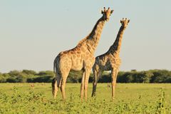 Giraffe - Wildlife Babies and Moms Stock Photos