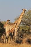 Giraffe - Wildlife Background - Family Dynamics Royalty Free Stock Images
