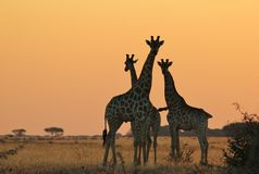 Giraffe - Wildlife Background - Nature's Sun Portrait Royalty Free Stock Photography