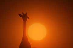 Giraffe - Wildlife Background - Portrait of the Sun and Nature Stock Photography