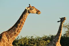 Giraffe - Wildlife Background - Serenade of Nature Royalty Free Stock Photo