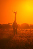 Giraffe - Wildlife Background - Sun Child of Nature Royalty Free Stock Photography